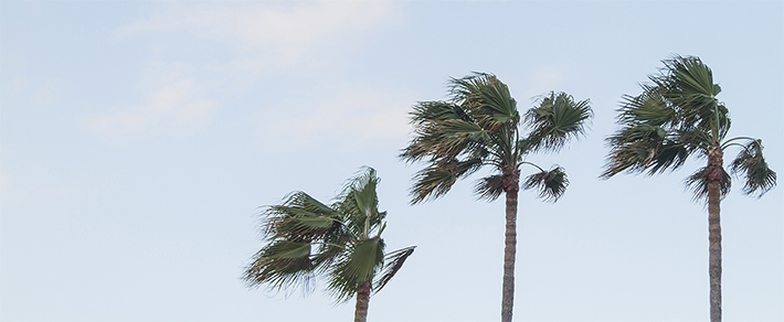 palms swaying in strong wind
